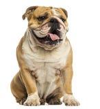 Engelskt bulldoggsammanträde och att flåsa, isolerat arkivbilder