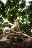 Engelskt lönnträd underifrån royaltyfri bild