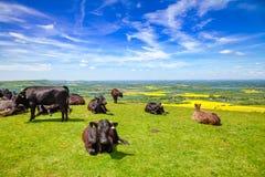 Engelskt lantligt landskap in med att beta Aberdeen Angus nötköttcatt Arkivfoto