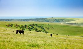 Engelskt lantligt landskap in med att beta Aberdeen Angus nötköttcatt Arkivfoton