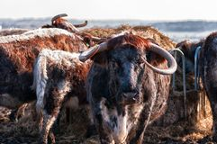Engelskt Longhornnötkreatur Royaltyfria Foton