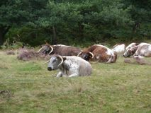 Engelskt Longhornnötkreatur Arkivbild