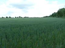 Engelskt vetefält (1) Fotografering för Bildbyråer