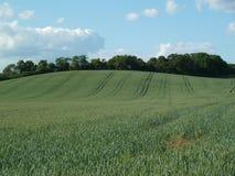 Engelskt vetefält (5) Arkivfoton