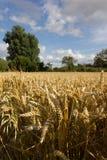 Engelskt vetefält i sommar Royaltyfria Bilder