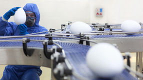 Engineer at xxl eggs size production line. Fully protected in blue uniform engineer examining xxl size egg at production line.scientist at conveyor belt in gmo Royalty Free Stock Photography