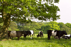 England. English Countryside Scene on a summer evening with Belted Galloway Cattle Royalty Free Stock Photo