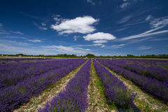 England. Lavender farm English countryside summertime Royalty Free Stock Photo