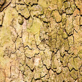 in england london old bark and abstract wood texture Royalty Free Stock Photo