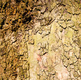 in england london old bark and abstract wood texture Royalty Free Stock Image