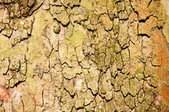 in england london     old bark Royalty Free Stock Photography