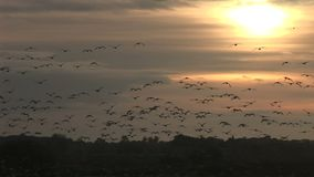 Geese coming into land past the sun stock video