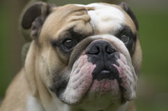 Englis-Bulldoggen stockbilder