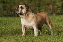 Englisch  Bulldog Portrait Stock Image