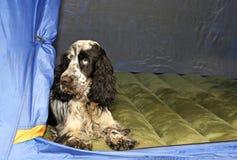 Englisch Cocker spaniel in einem Zelt lizenzfreies stockbild