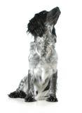 Englisch-cocker spaniel-Kreuz, das oben schaut Lizenzfreie Stockfotos