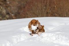Englisch Cocker Spaniel trägt einen Schneeball im Mund stockfotos