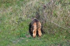 Englisch-Cocker spaniel-Welpen-Kopf-unten Kaninchenbau Lizenzfreies Stockfoto