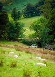 Englisch, das Schafe in der Landschaft weiden lässt Stockfoto