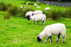 Englisch, das Schafe in der Landschaft weiden lässt Stockbild