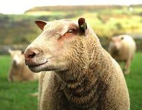 Englisch Herdwick-Schafe Lizenzfreies Stockfoto
