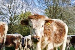 Englisch Longhorn Bullock mit Namensschild Stockfotografie