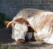 Englisch-Longhorn-Kuh, hinlegend, Backsteinmauer Stockfotografie