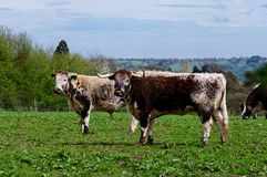Englisch-Longhorn-Vieh Stockbild