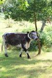 Englisch-Longhorn-Vieh Lizenzfreies Stockfoto