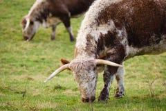 Englisch-Longhorn-Vieh stockfotografie