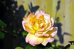 Englisch Rose Stockfoto