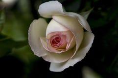 Englisch Rose ein Shropshire-junger Mann Ausled stockfotos