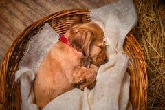 Englischcocker spaniel-Hund, der in einem Korb schläft lizenzfreie stockbilder
