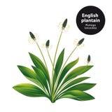 Englische Banane Plantago lanceolata vektor abbildung