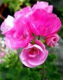 Englische Blumen Stockfoto