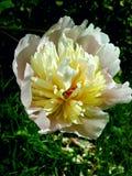 Englische Blumen Stockbild