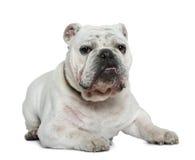 Englische Bulldogge, 10 Monate alte, liegend Stockbild