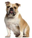 Englische Bulldogge, 10 Monate alte, sitzend Stockfotos
