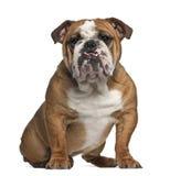 Englische Bulldogge, 10 Monate alte, sitzend Stockbild