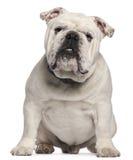 Englische Bulldogge, 14 Monate alte, sitzend Stockbild