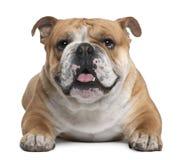 Englische Bulldogge, 18 Monate alte, liegend Stockbild