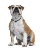 Englische Bulldogge, 18 Monate alte, sitzend Stockfotos