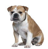 Englische Bulldogge, 18 Monate alte, sitzend Stockbilder