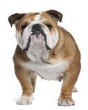 Englische Bulldogge, 18 Monate alte, stehend Stockbilder