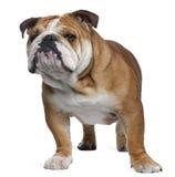 Englische Bulldogge, 18 Monate alte, stehend Lizenzfreies Stockbild