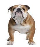 Englische Bulldogge, 18 Monate alte, stehend Stockfotografie