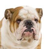 Englische Bulldogge lizenzfreie stockfotos