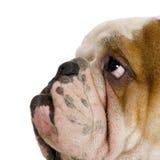Englische Bulldogge lizenzfreie stockbilder