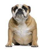 Englische Bulldogge, 3 Jahre alt, sitzend Lizenzfreie Stockfotos