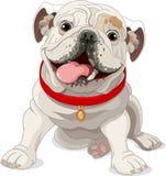 Englische Bulldogge Stockbilder